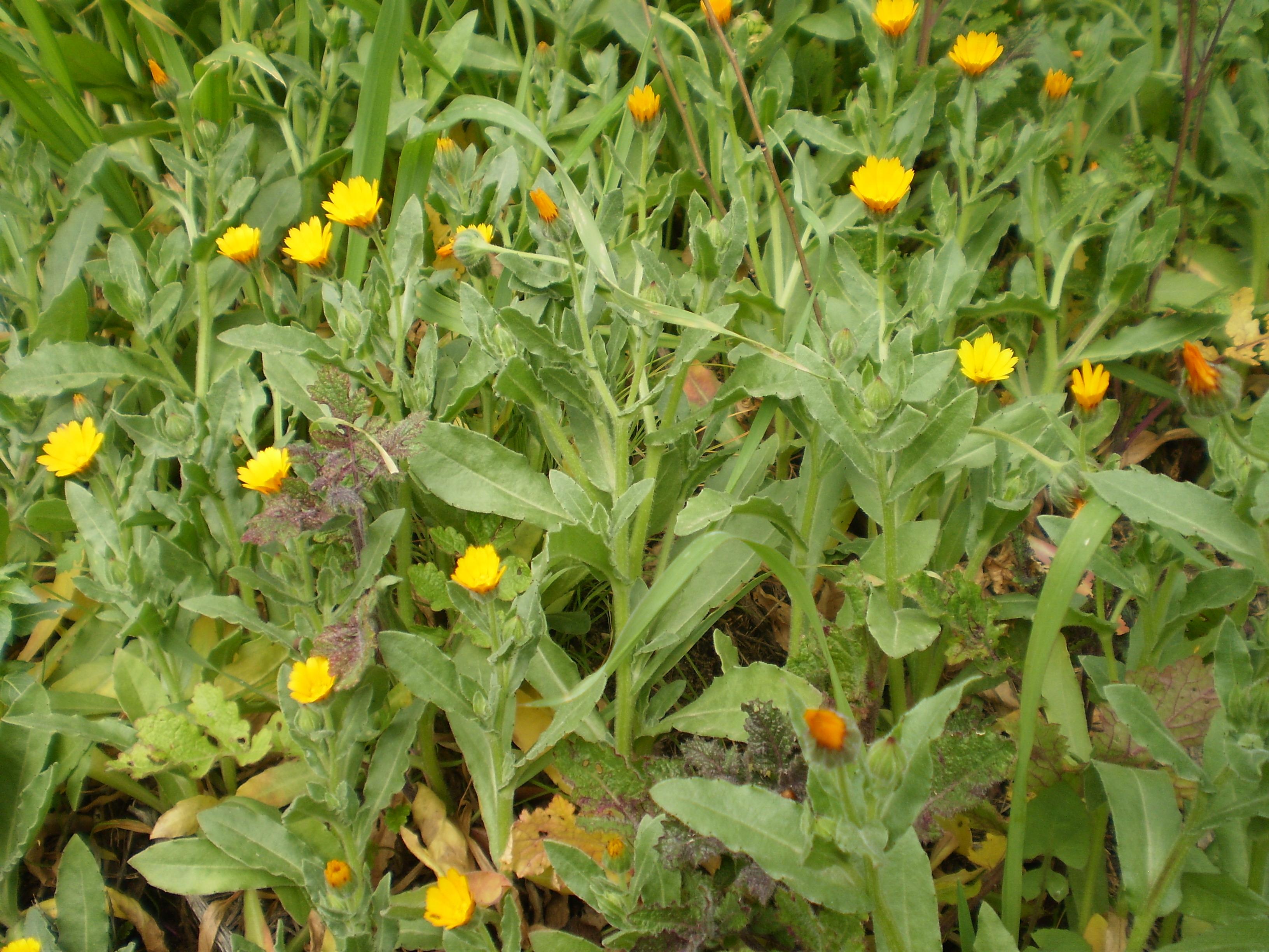 FAVAGELLO Ranunculus ficaria  E\u0027 una delle prime piante e vedersi alla  fine dell\u0027inverno, a volte anche tra le ultime nevi. Le giovani foglie in  primavera