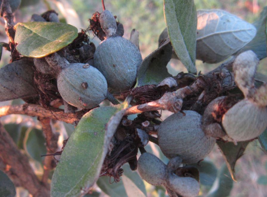 Piante frutti particolari ed esotici for Pianta feijoa